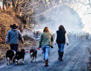 Allen Cochran on his annual sheep walk through Lincoln